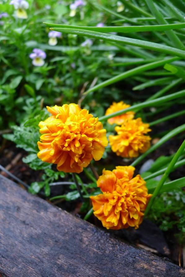 edible petals: Tagetes patula