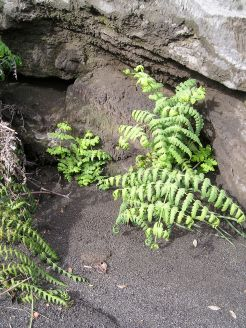 To colonise rocks, fern spores sprout in fissures. This species also grows in eastern Australia.