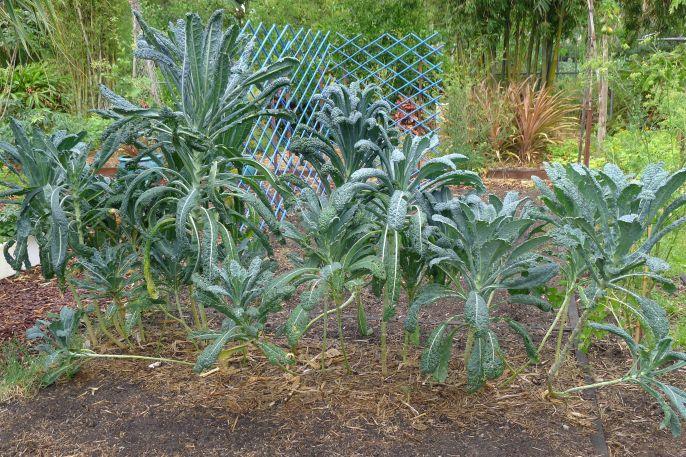 Tuscan kale, Brassica oleracea (Acephala group) 'Laciniato'