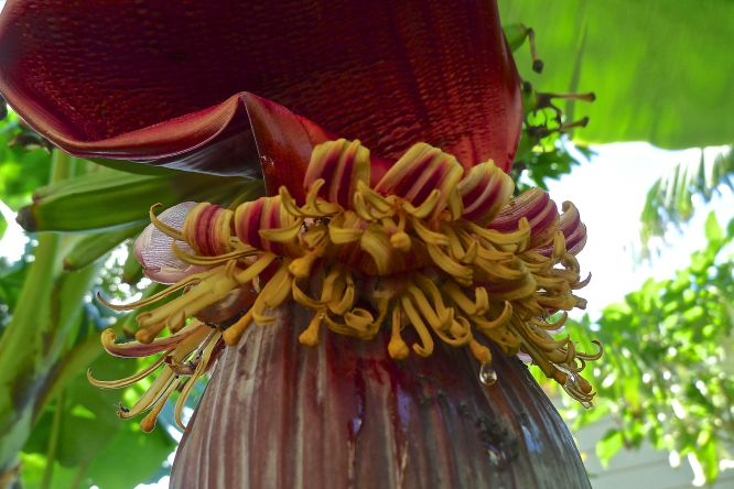 Edible flowers: Banana Musa x sapientum 'Blue Java'