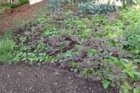 Volunteer summer vegetables