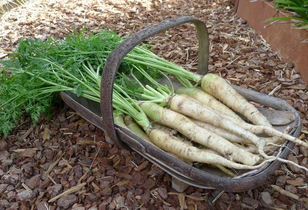 Carrot, Daucus carota 'Lunar White'