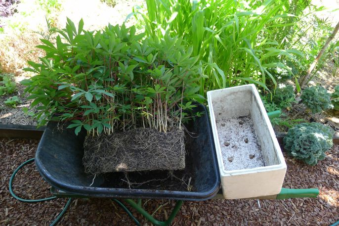 Cassava cuttings ready to plant, Manihot esculenta
