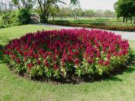 Celosia argentea var. plumosa: at King Rama IV Royal Botanical Garden, Bangkok