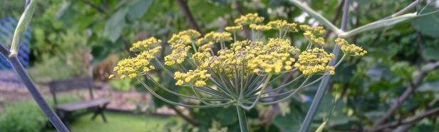 Fennel flower, Foeniculum vulgare 'Purpureum'
