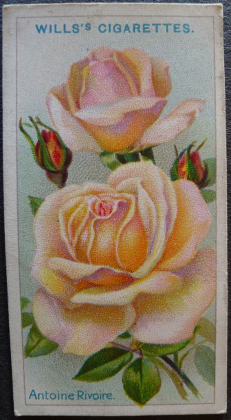 Rose, Antione Rivoire, Hybrid Tea