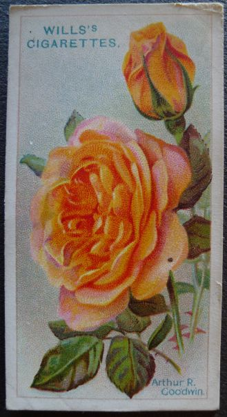 Rose, Arthur R Goodwin, Hybrid Tea