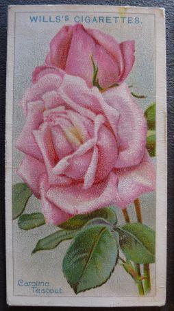 Rose, Caroline Testout, Hybrid Tea