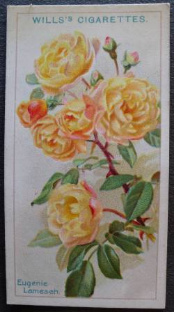 Rose, Eugene Lamesch, thornless polyantha Bred by Peter Lambert, Germany, 1899