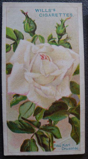 Rose, Frau Karl Druschki, Hybrid Perpetual