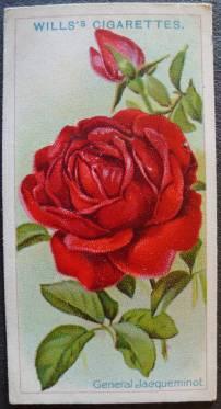 Rose, General Jacqueminot, Hybrid Perpetual