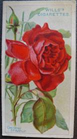 Rose, General McArthur, Hybrid Tea
