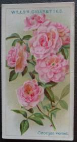 Rose, Georges Pernet, Polyantha