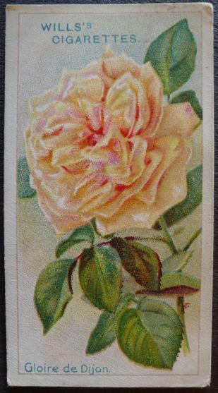 Rose, Gloire de Dijon, Tea Rose