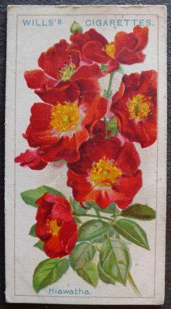 Rose, Hiawatha, Wichuraiana