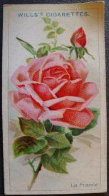Rose, La France, Hybrid Tea