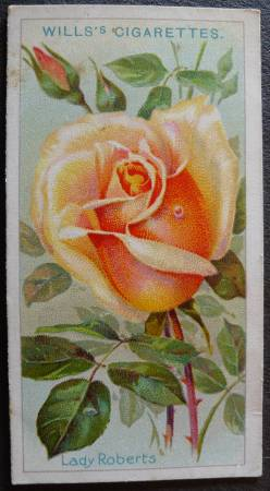 Rose, Lady Roberts, Tea Rose