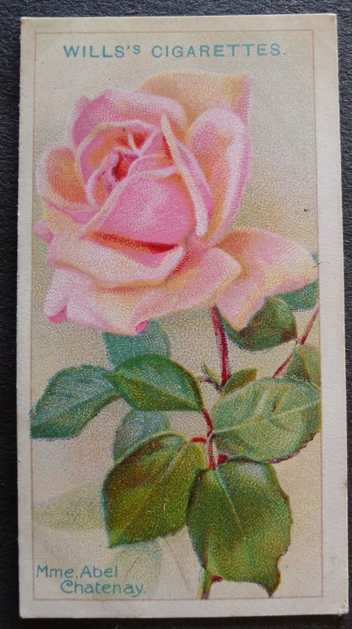 Rose, Madame Abel Chatenay, Hybrid Tea