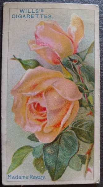 Rose, Madame Ravary, Hybrid Tea
