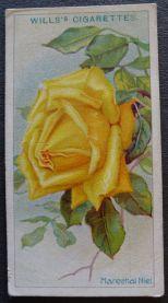 Rose, Marechal Niel, Noisette