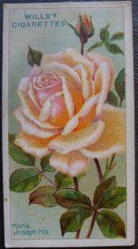 Rose, Monsieur Joseph Hill, Hybrid Tea