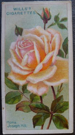 Rose, Monsieur Joseph Hill, Hybrid Tea