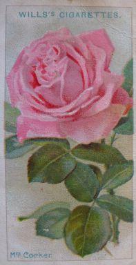 Rose, Mrs Cocker, Hybrid Perpetual