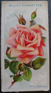 Rose, Mrs E J Holland, Hybrid Tea