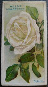 Rose, Niphetos, Tea Rose