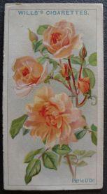 Rose, Perle d'Or, Polyantha
