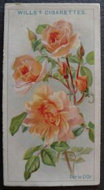 Rose, Perle d'Or, Polyantha