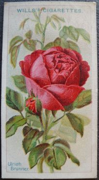 Rose, Ulrich Brunner, Hybrid Perpetual
