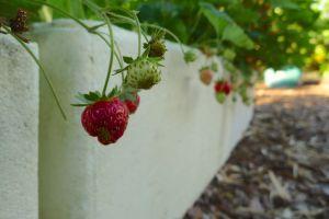 Strawberry, Fragaria x ananassa 'Red Gauntlet'