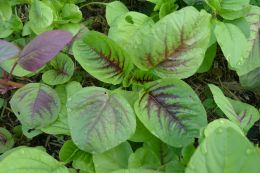 Volunteer Chinese spinach, Amaranthus cruentus 'Red Callaloo'