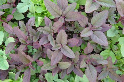 Volunteer Chinese spinach, Amaranthus gangeticus