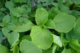 Volunteer Chinese spinach, Amaranthus tricolor