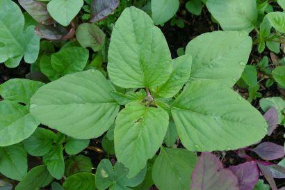 Volunteer green amaranth, Amaranthus viridis