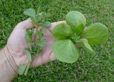 Volunteer wild purslane (LHS, Portulaca oleracea) & golden purslane (RHS, P. oleracea var. sativa)
