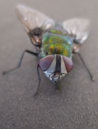 The Green Rutilia (Rutilia rubriceps) is another Tachinid fly. This species parasitises caterpillars.