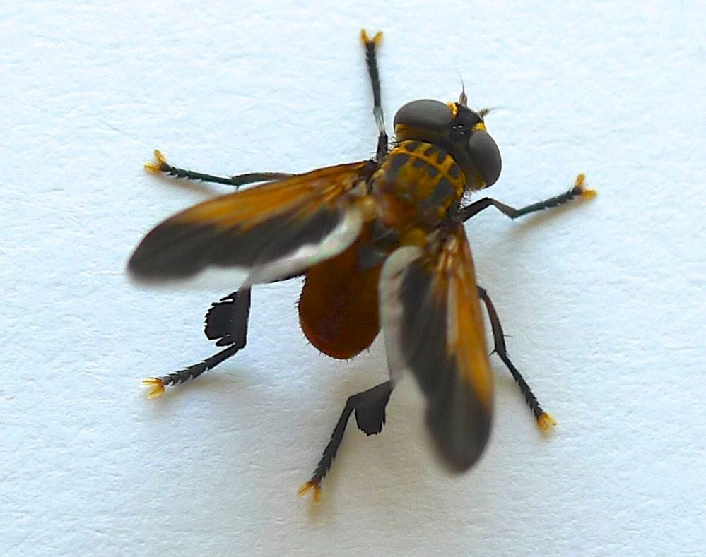 Species 376: Trichopoda giacomellii, a biocontrol of the green vegetable bug