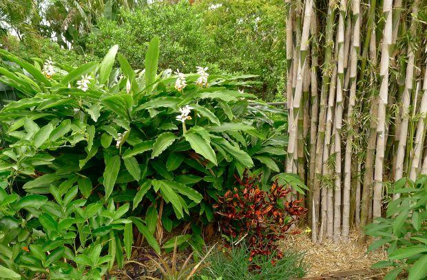 Visiting Malekula Island (Vanuatu) gave me this boundary planting idea using false cardamom and crotons