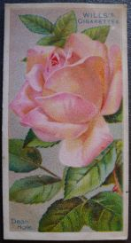 Rose, Dean Hole, Hybrid Tea