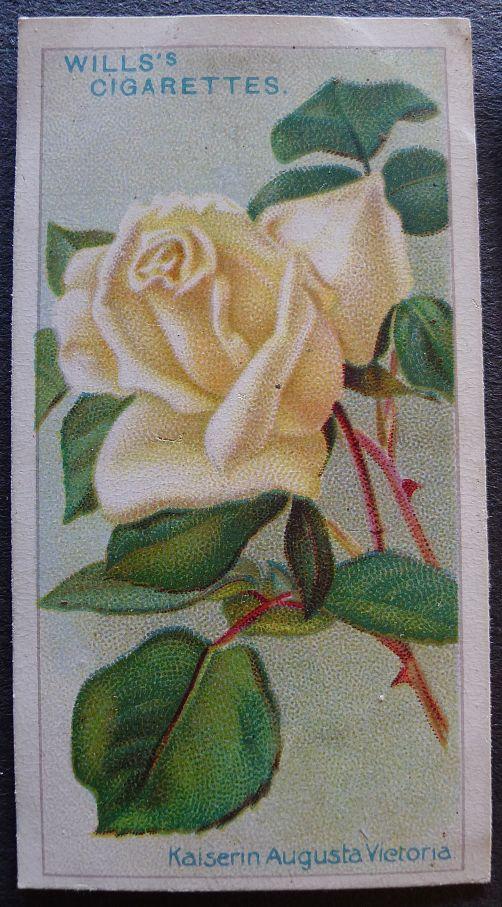Rose, Kaiserin Augusta Victoria, Hybrid Tea