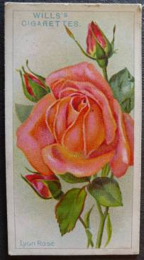 Rose, Lyon Rose, Hybrid Tea