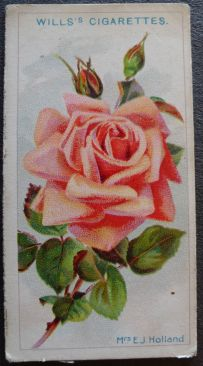 Mrs E J Holland, Hybrid Tea