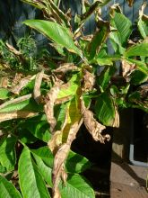 Salt spray damage to snake lily, Amorphophallus bulbifer