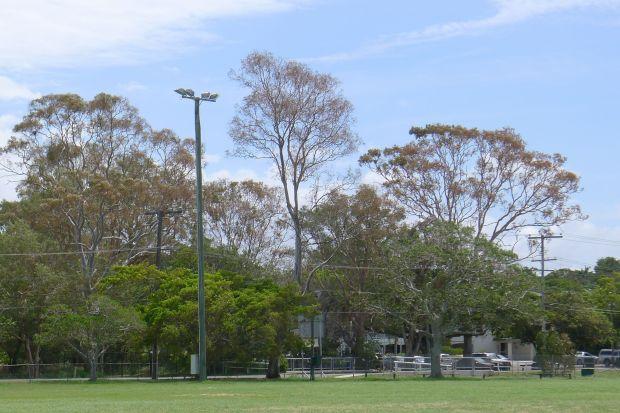 Salt spray damage to forest red gums (Eucalyptus tereticornis) in Bayside Brisbane, 12.2.13.