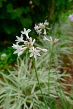 Edible leaves and flowers of Society garlic, Tulbaghia violacea 'Fairy Stars'