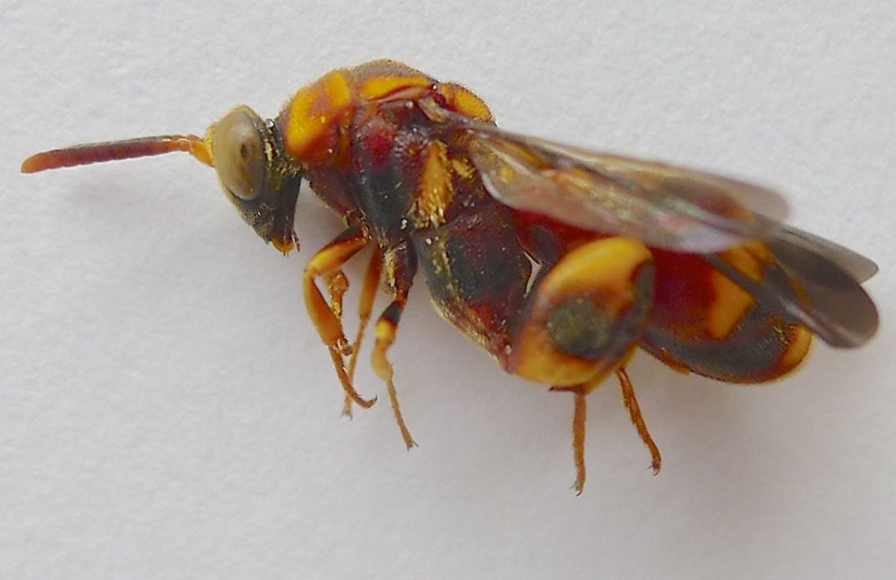 One of the eleven known Australian species of parasitic Leucospis wasps