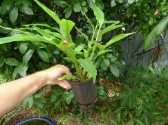 Thirteen month old seedling True cardamom, Elatteria cardamomum